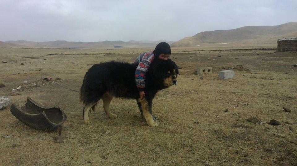 Mastino Tibetano: Caratteristiche e Storia