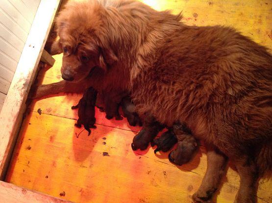 Anche Nv Ying ha dato alla luce i suoi cuccioli
