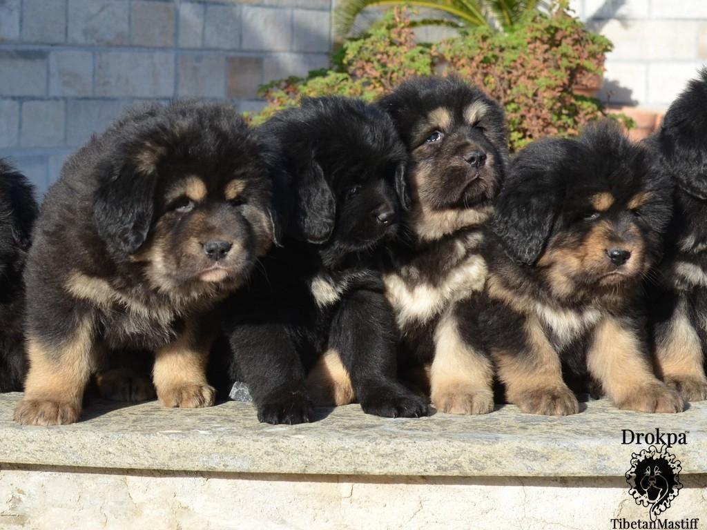 I cuccioli di tibetan mastiff in posa