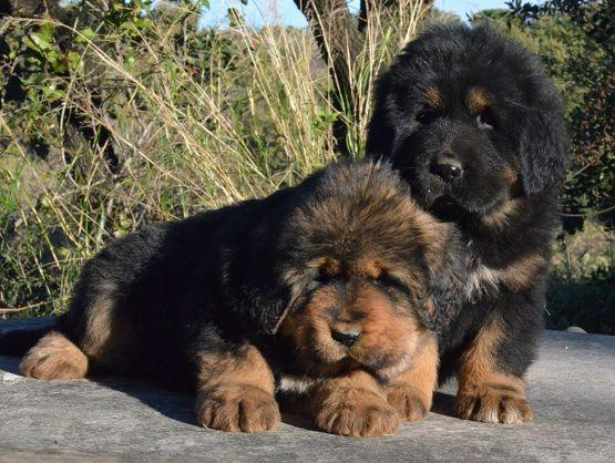 Cuccioli da Rinzen e E Huang