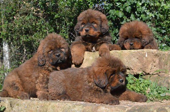 Cuccioli di Hong Mu a 40 giorni