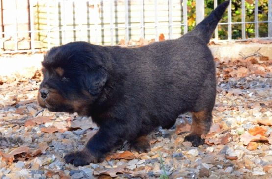 Cuccioli di Huang Di x Indy a 25 giorni