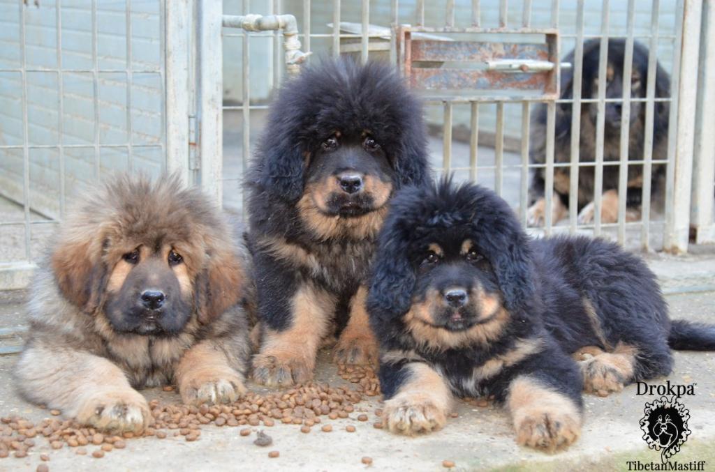 Cuccioli di linea cinese