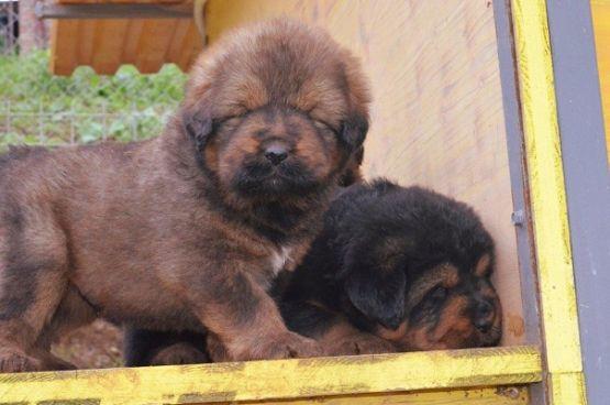 Cuccioli di Rinzen x E Huang a 30 giorni