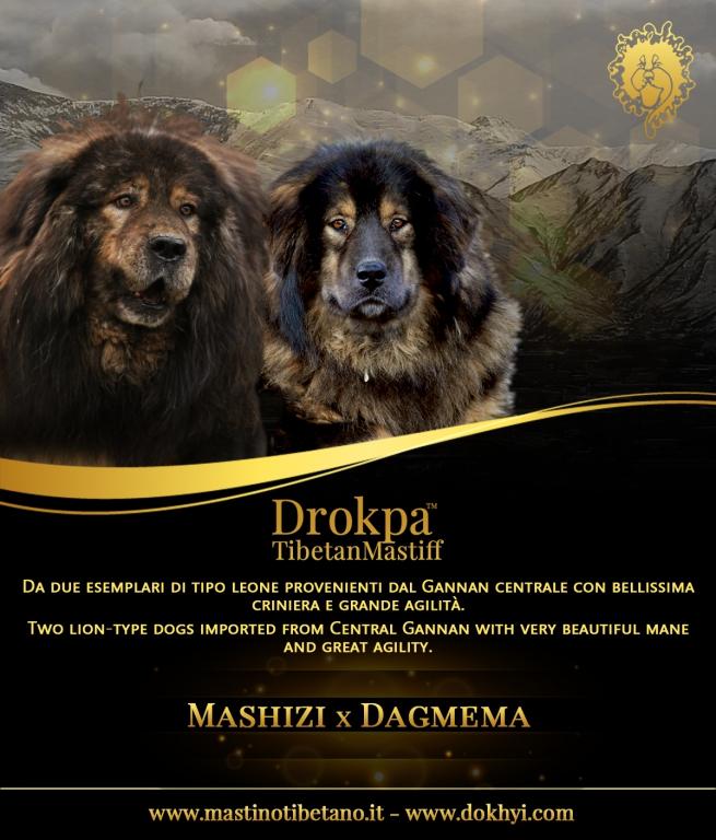 Dagmema ha dato alla luce 8 meravigliosi cuccioli di Tibetan Mastiff