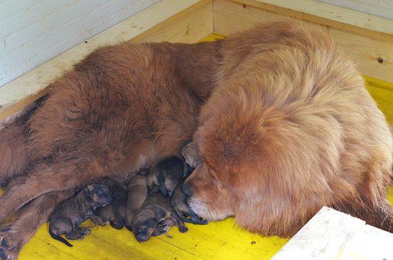 Sono nati i cuccioli di Hong Mu